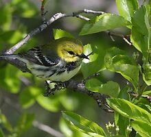 Black Throated Green Warbler by John Absher