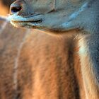 Kudu glance by Wild at Heart Namibia