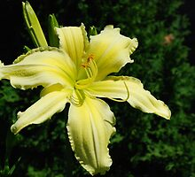 Giant Yellow Lily by DAltman