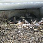 Barn Swallows by Jeralynn
