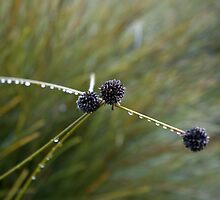 Button Grass, Dactyloctenium radulans by Caro