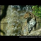 Leopard by Waterfall by KCGraphics