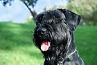 Giant Schnauzer Sanfteriezen JetBlack Ashley by andreisky