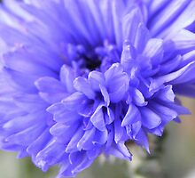 Cornflower by CJPhotos