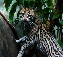Senor Ocelot by IanPharesPhoto