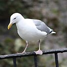 California Gull by Laurie Puglia