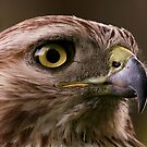 Hawk Eye by John Absher