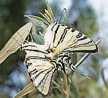 Mating Butterflies by Nathan T