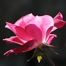 Hot Pink, Rose by NatureGreeting Cards ©ccwri