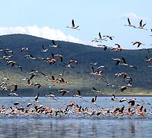 Flight of the Flamingo.....Lake Nakuru....kenya by Stephie Butler