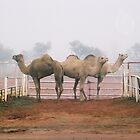 Camels In The Mist by Felicity McLeod