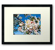 Crab Apple Blossom Cluster at Limb's End Framed Print