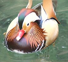 Mandarin Duck by Paul Todd