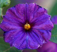 Deep Purple by Stephanie  Newbold