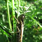 Another grasshopper by coachpotato