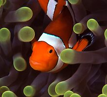 Clownfish by Carlos Villoch