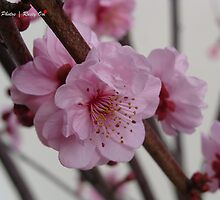 Plum Blossoms by vadermaul