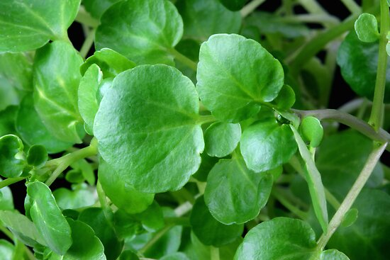 Watercress by SmoothBreeze7
