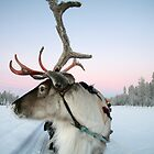 Lapland Reindeer by CalendaRus