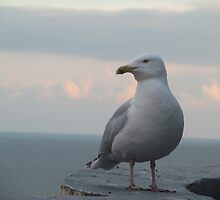 Seagull by karimdatraveler