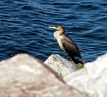 Double-crested Cormorant by BarbL
