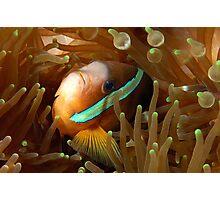 Clarkes Anemonefish Photographic Print