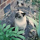 Burmese Cat in Garden by Melissa Holland