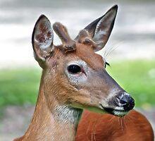 Deer by Teresa Zieba