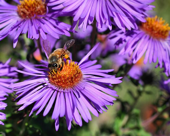 Bee On Purple Aster by SmilinEyes