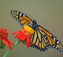 Monarch on Flame Vine by Donna Adamski
