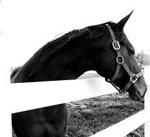 b&w horse by Stephen Almendinger