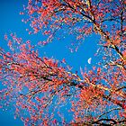 Moon, Spring Blossoms and Blue Sky by KellyHeaton