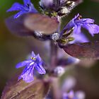 Bugleweed by Tammy Hale