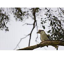 - kookaburra - Photographic Print