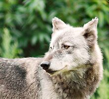 Canadian Timber Wolf by Stephie Butler