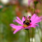 Pink Cosmos and Carpenter Bee by sherryk