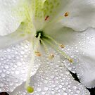 White Lily by DesignsByDeb
