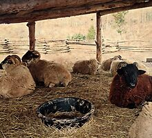 Flock of Sheep at Mount Vernon by Bine