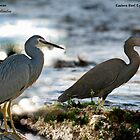 Eastern Reef Egret & White Faced Heron Composite by Normf