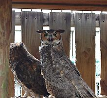 Great Horned Owl by 2Daphne