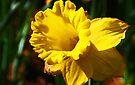 Yellow Daffodil by Evita