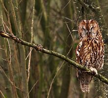 Sleepy Tawny Owl by CrimsonSkyPhoto