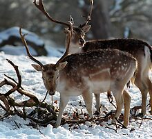 Foraging deer in Winter by EileenLangsley