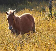 Wild Golden Pony by Chris Snyder