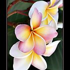 Frangipani - By Dave Lloyd by Dave Lloyd