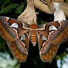 Atlas Moth by Gerry Danen
