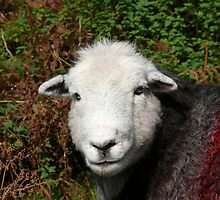 Herdwick Sheep by miltong