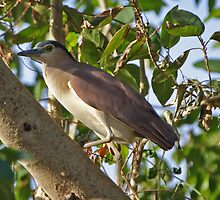 Nankeen Night-Heron  by Robert Elliott