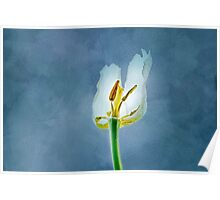 White withering tulip flower Poster