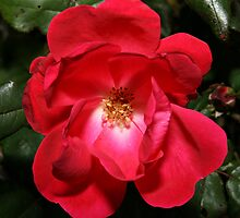 Knock-Out-Rose by BigD